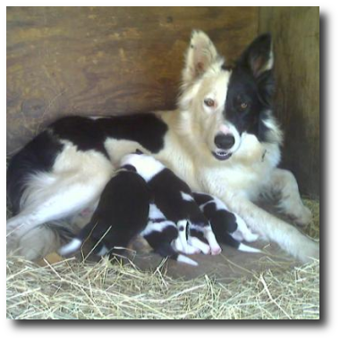 Border Collies Cryin Coyote Ranch